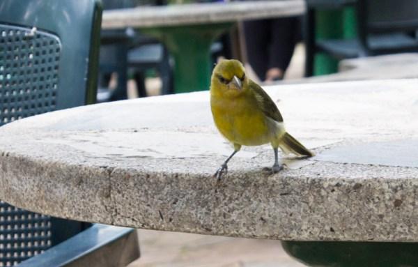 A weaver bird in the Durban Botanic Gardens