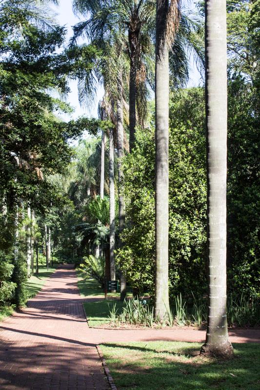 A pine walk in the Durban Botanic Gardens
