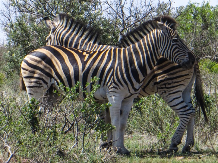 Zebra in the Franklin Nature Reserve, Bloemfontein