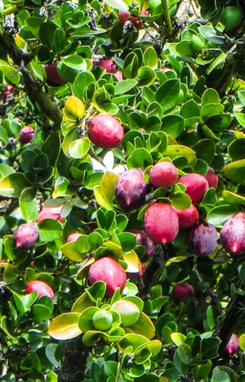 Indigenous fruiting bush