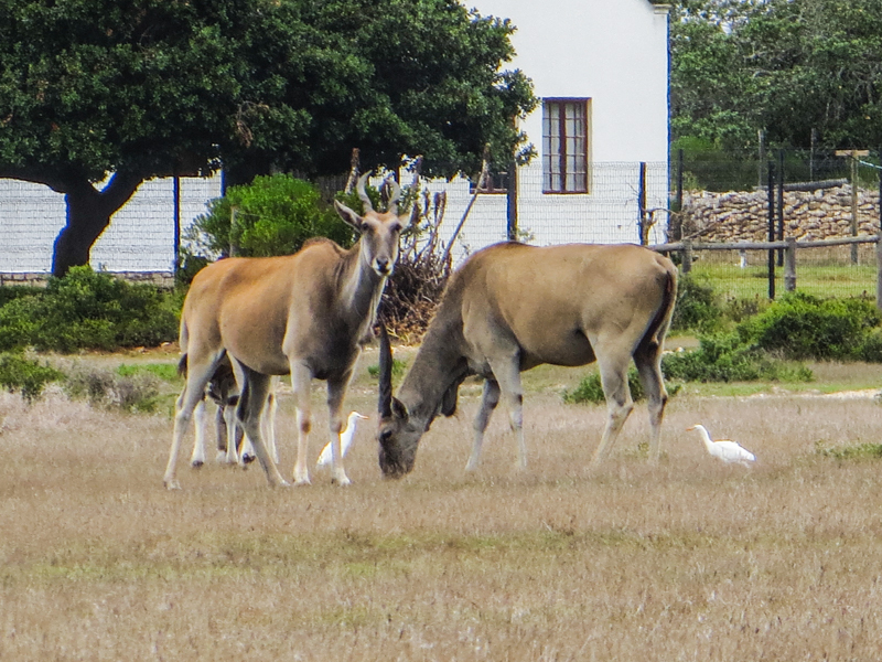 Eland in the De Hoop Nature Reserve