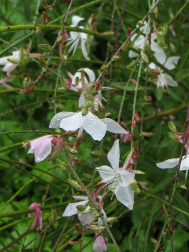 Gaura in the garden at Vergelegen