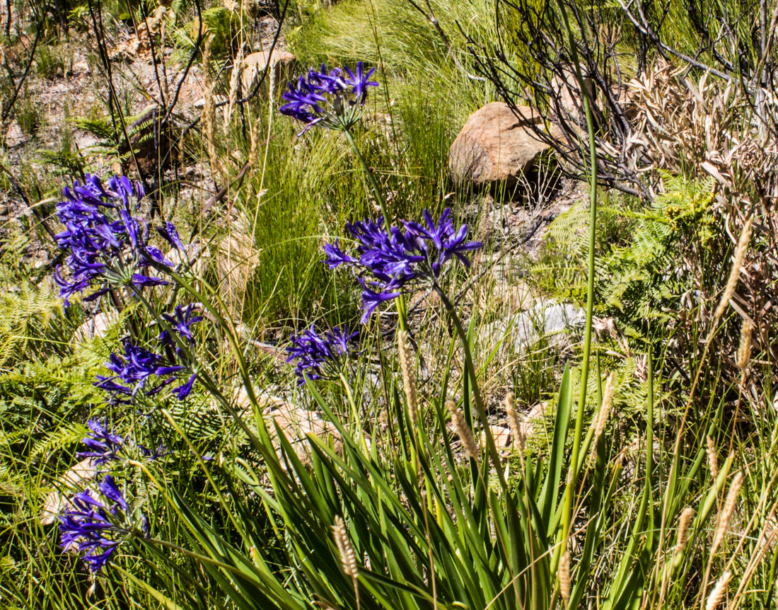 Agapanthus in the Jonkershoek Nature Reserve