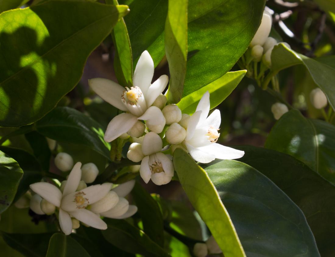 Orange blossom in Vila Vicosa