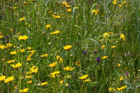Wild flowers, Alentejo