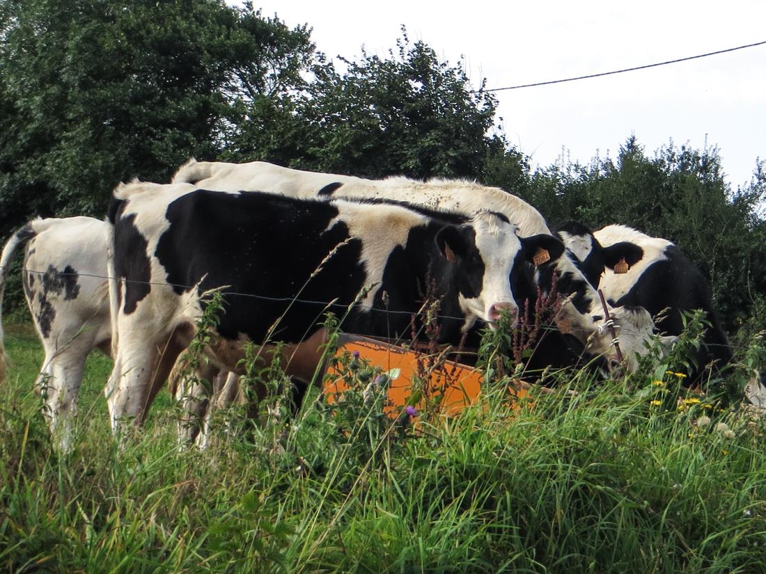Friesian cows around Locronan