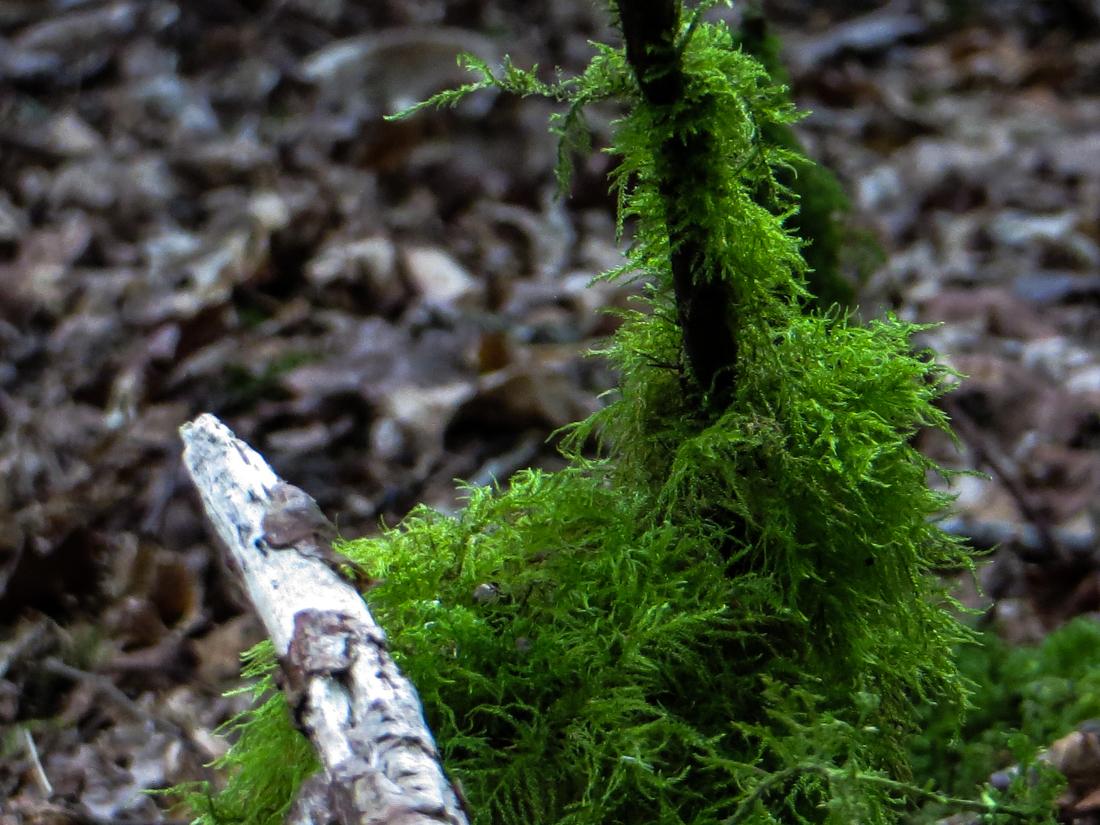Moss in the Bois de Roscoure