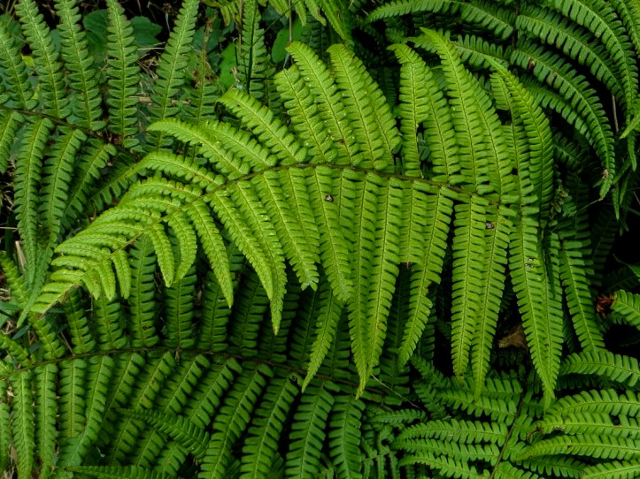 Ferns in green lanes in Brittany
