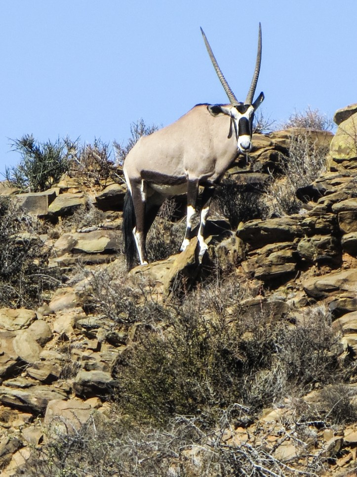 Gemsbok in the Karoo National Park