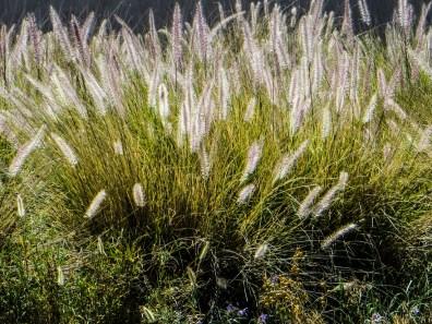 Grasses in the veld betweeen Graaff Reinet & PE