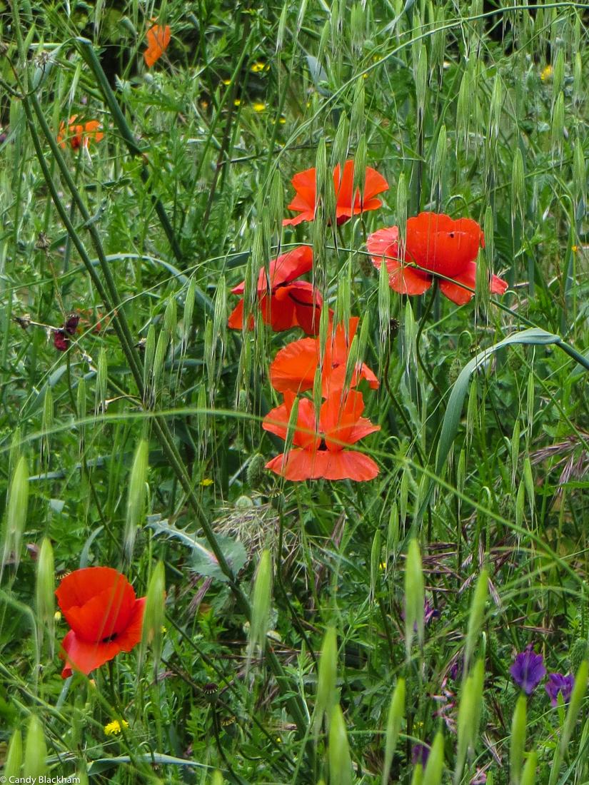 Wild poppies at Ouguela