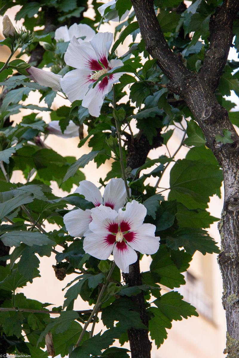 Hibiscus in Monforte de Lemos