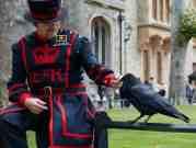 I corvi nella Torre di Londra salvano il Regno dalla caduta