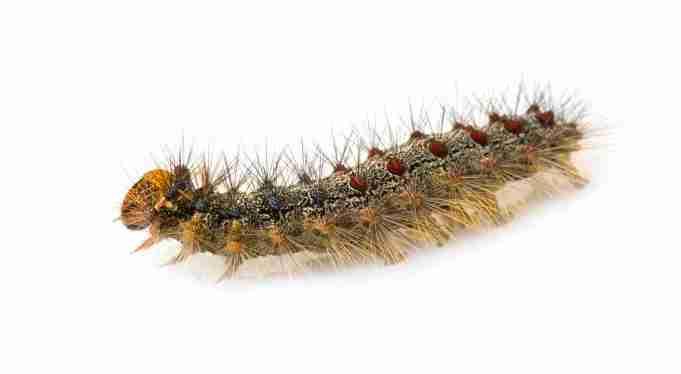 Gypsy moth caterpillar - Lymantria dispar