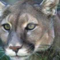 Cougar-Spirit-Animal-1-150x150