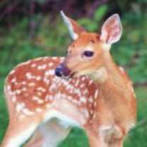 deer-totem-300-150x150