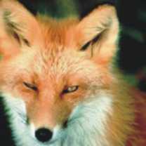 fox-totem-300-150x150