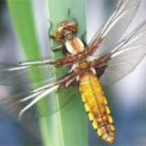 odonata-libellule-150x150