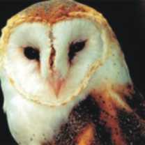 owl-totem-300-150x150