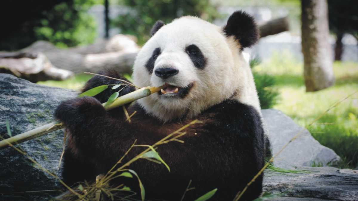panda spirit animal - animal spirit panda