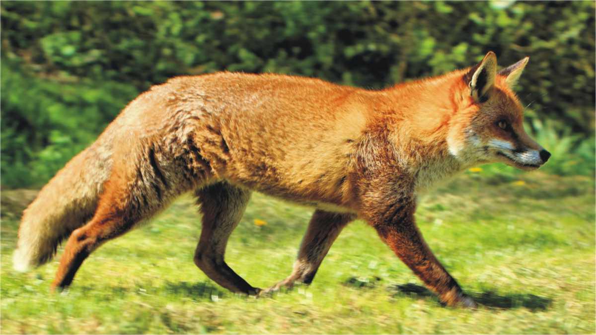 animal spirit fox - fox animal spirit - fox spirit animal