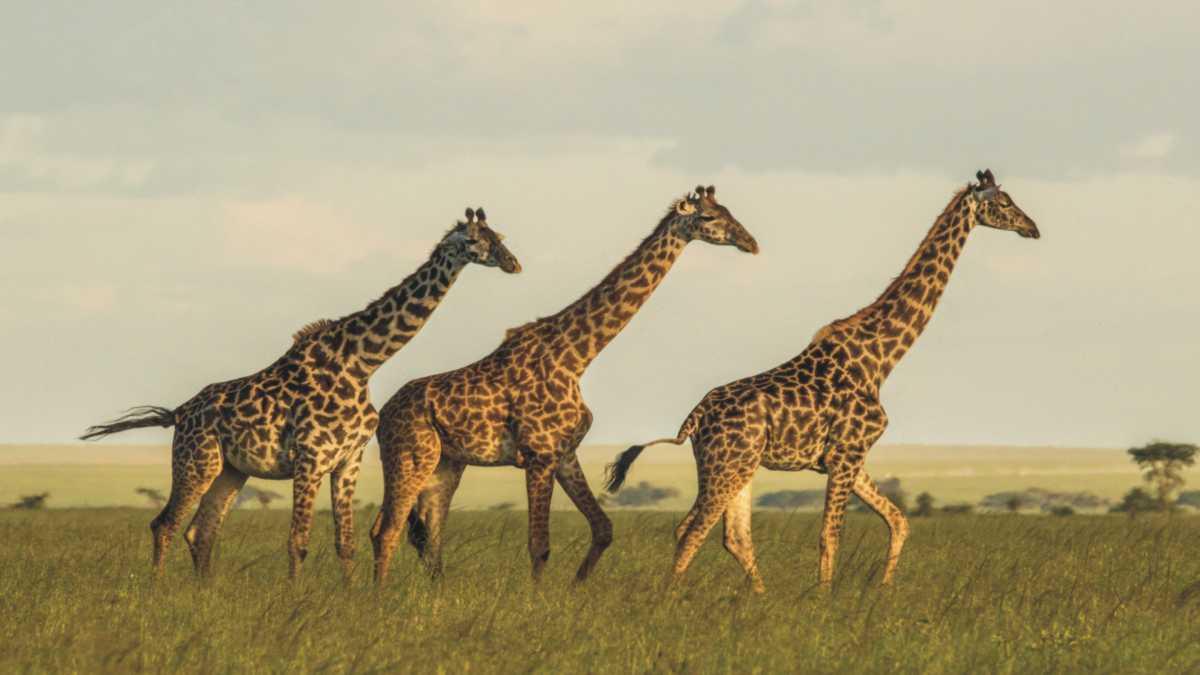 giraffe spirit animal meaning --animal spirit giraffe