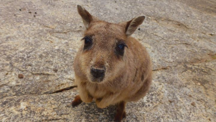 Meeting Rock Wallabies at the stunning Granite Gorge Nature Park, Mareeba, Far North Queensland