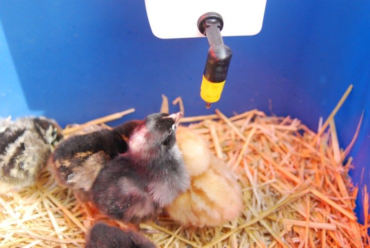 Chicks at waterer