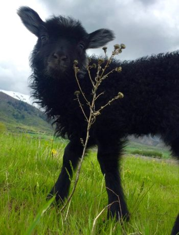 Moses the Lamb