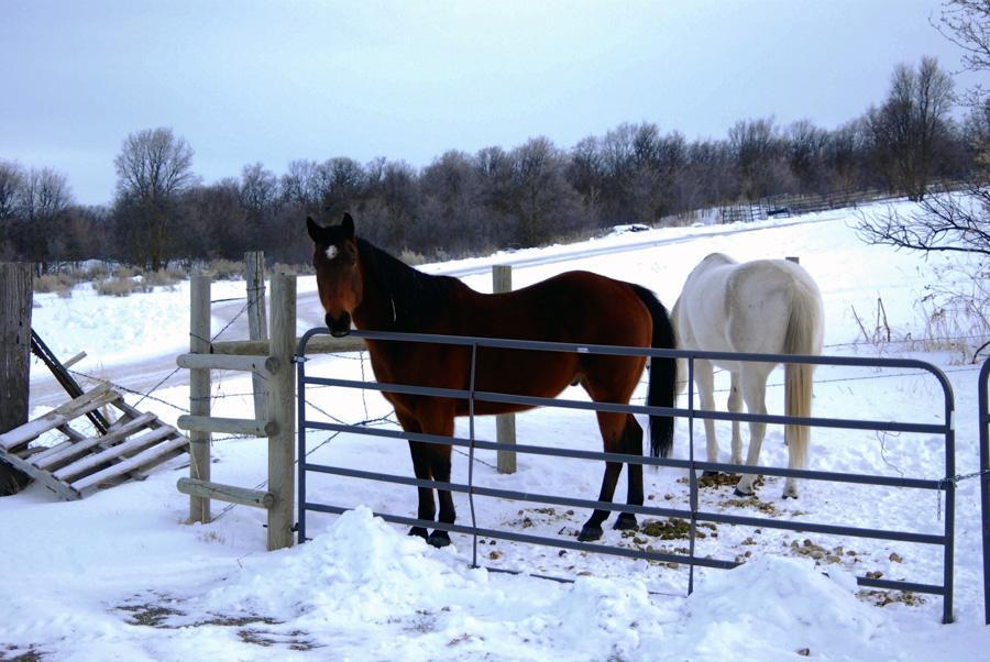 feeding horses in winter