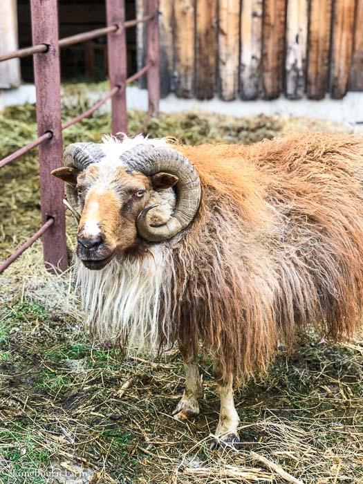 Icelandic ram looking forward standing in a pen.