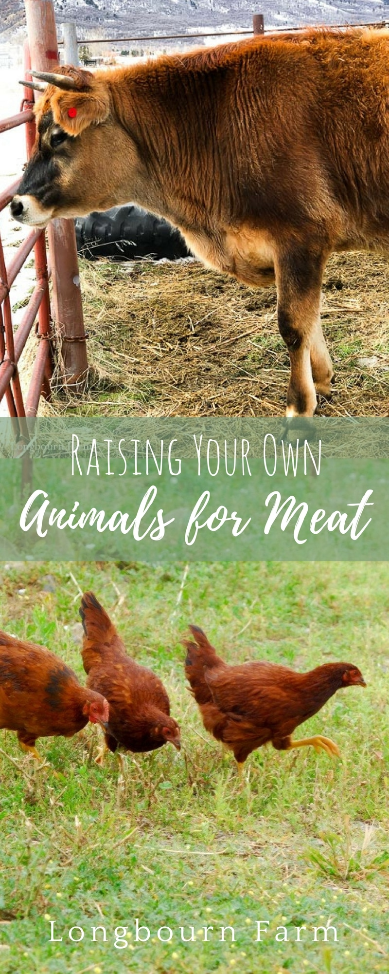 I often get asked how I am comfortable raising animals for food. Here is my long and honest answer about how we feel raising animals for food on our farm.