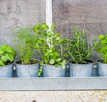 Herbs planted in galvanized containers in front of an old window.