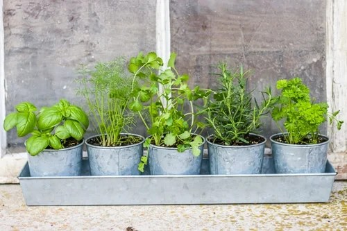 Growing Herbs Indoors Is Easy, Follow These Simple Steps To Make Sure Your  Herbs Thrive And Grow! Nothing Is Better Than Fresh Herbs On A Home Cooked  Meal, ...
