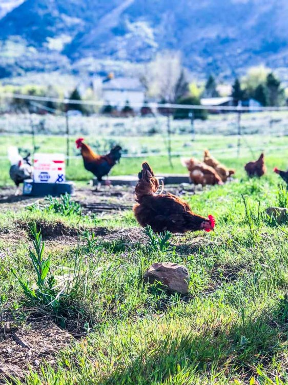 Rhode Island Red hen pecking the ground in a pasture.