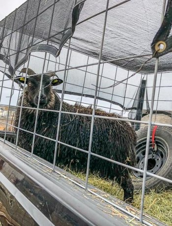 Icelandic sheep inside of a DIY sheep trailer.