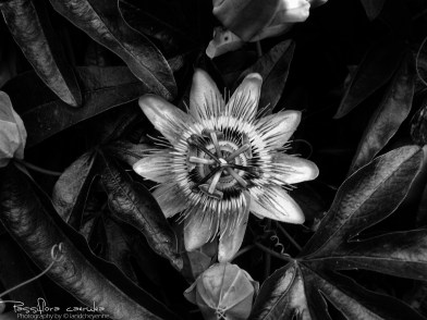 Passiflore - Photography by landcheyenne (1)