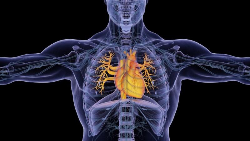 Human heart. 3d illustration.