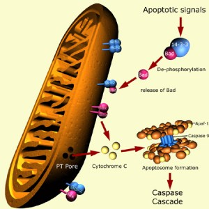 Apoptosis begins with the death of the mitochondria.