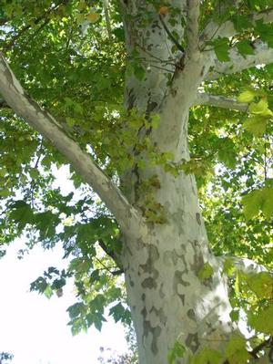 Image result for exclamation london plane tree