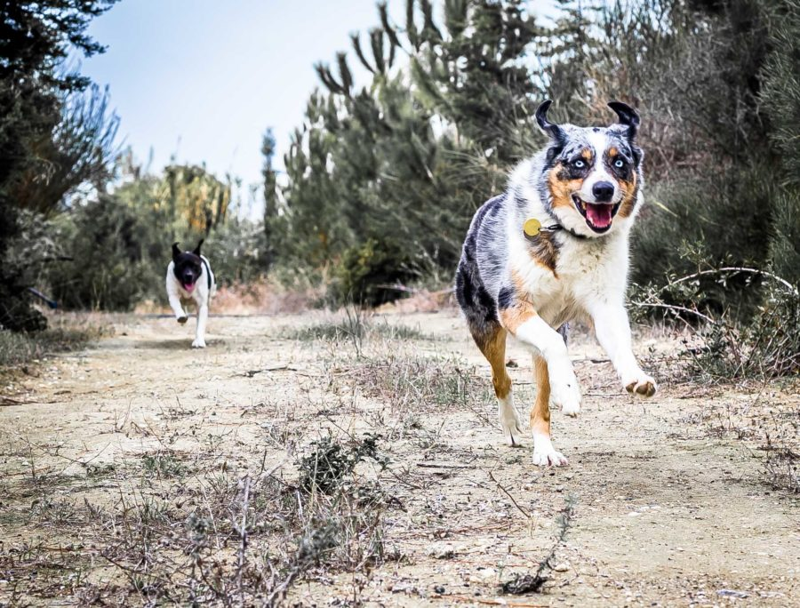 Australian Shepherds have endless energy.  - The Best Adventure Dog