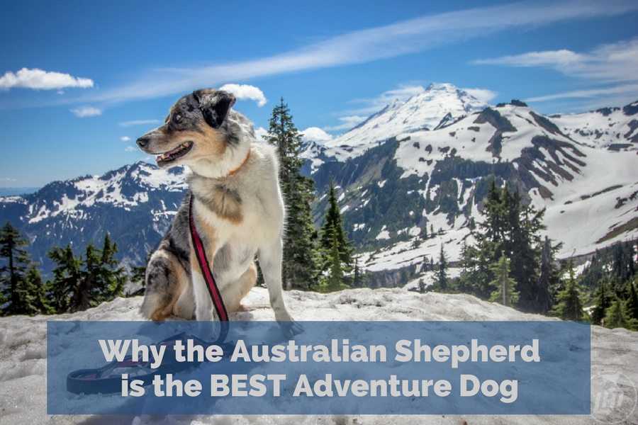 Why the Australian Shepherd is the Best Adventure Dog