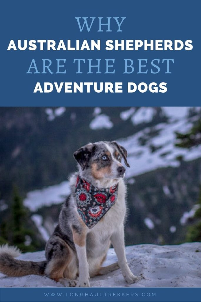 With their intelligence, athleticism, and adaptability, the Australian Shepherd makes the best adventure dog.