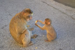 Gibraltar monkey and baby