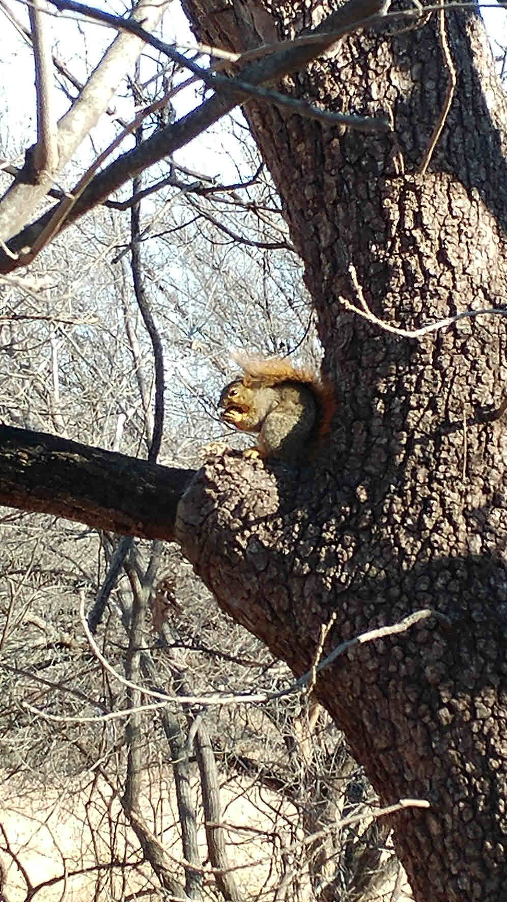 Gnawing Squirrel