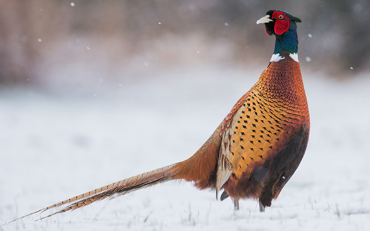 A beautiful ringneck pheasant standing in winter scenery - ready for pheasant hunting season