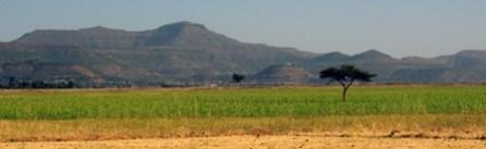Fields of Tef