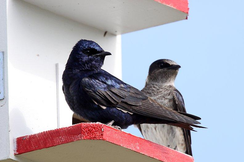 Male and female Martins