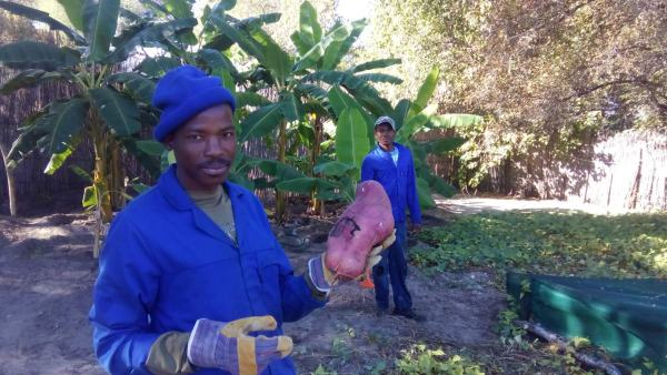 The staff, Daniel and Joseph, proud of the monster sweet potatoes in the garden.