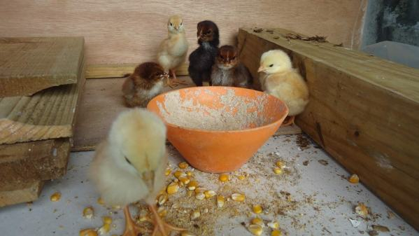 The first batch of chicks raised on the island